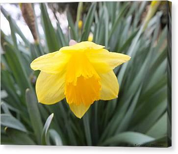 Spring Daffodil Canvas Print