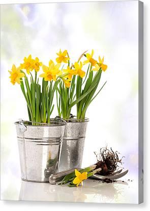 Spring Daffodils Canvas Print by Amanda Elwell