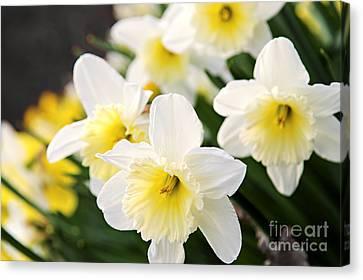 Spring Daffodils Canvas Print by Elena Elisseeva