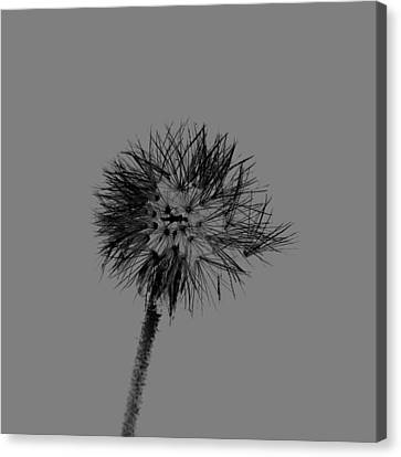 Spring Dandelion Canvas Print by Tommytechno Sweden