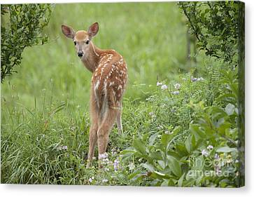 Spring Fawn Canvas Print