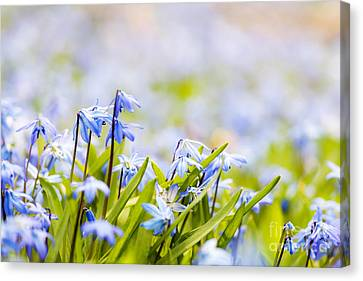 Spring Flowers  Canvas Print by Elena Elisseeva