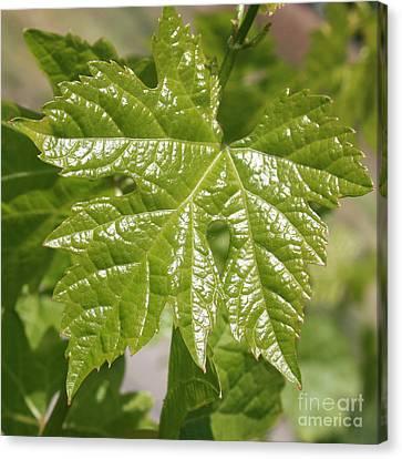 Spring Grape Leaf Canvas Print by Carol Groenen