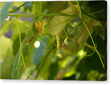Canvas Print featuring the photograph Spring Green Grape Vines by Adria Trail