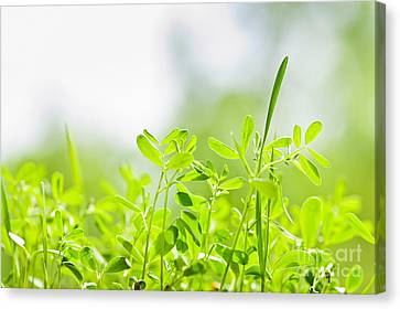 Spring Green Sprouts Canvas Print by Elena Elisseeva