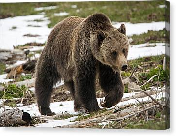 Canvas Print featuring the photograph Spring Grizzly Bear by Jack Bell