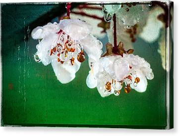 Spring Haiku Poetry With Cherry Blossoms And Dew Drops Canvas Print
