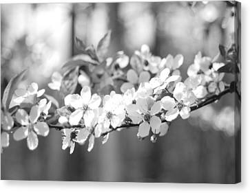 Spring Has Sprung Canvas Print by Barbara Bardzik