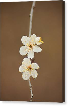 Spring In Bloom Canvas Print by Kimberly Danner