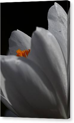 Spring Is A Crocus Canvas Print
