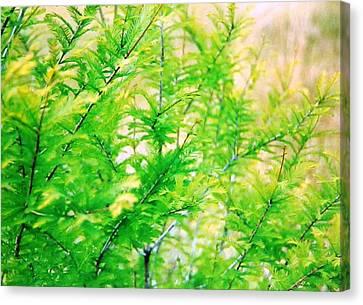 Spring Cypress Beauty Canvas Print