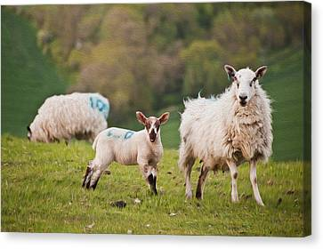 Spring Lamb And Sheep Digital Painting Canvas Print by Matthew Gibson