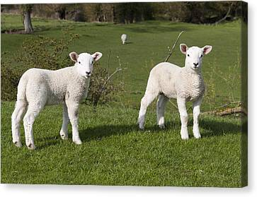 Canvas Print featuring the photograph Spring Lambs by David Isaacson