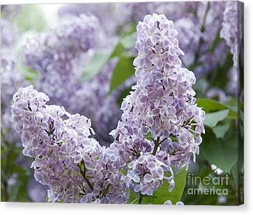 Spring Lilacs In Bloom Canvas Print by Juli Scalzi