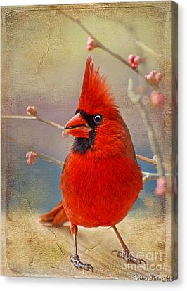 Spring Male Norther Cardinal Canvas Print by Debbie Portwood