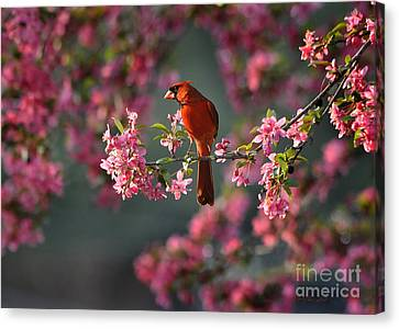 Spring Morning Cardinal Canvas Print by Nava Thompson