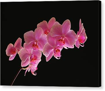 Spring Orchids Canvas Print by Juergen Roth