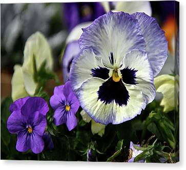Spring Pansy Flower Canvas Print by Ed  Riche