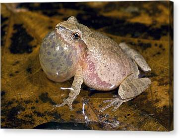 Spring Peeper Calling Canvas Print by Steve Gettle
