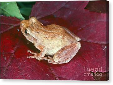 Spring Peeper Canvas Print by Millard H. Sharp
