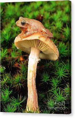 Spring Peeper On Mushroom Canvas Print by Gary Meszaros