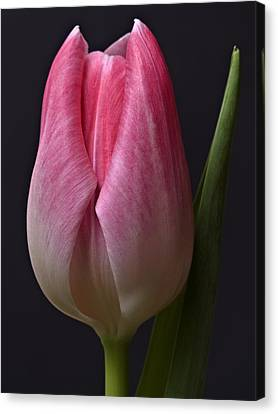 Canvas Print featuring the photograph Orange Pink Red White Black Tulip Flower Art Work Photograph by Artecco Fine Art Photography