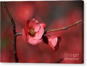 Spring Richness - Flowering Quince Canvas Print by Joy Watson