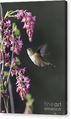 Spring Rufous Canvas Print by Tim Moore