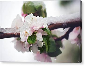 Spring Snow On Apple Blossoms Canvas Print by Lisa Knechtel