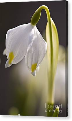 Spring Snowflake Canvas Print by Heiko Koehrer-Wagner