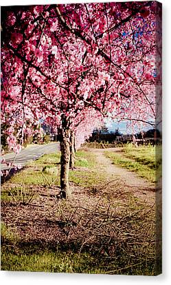 Sonoma Valley Canvas Print - Spring Time by Aron Kearney