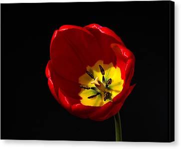 Spring Tulip 2 Canvas Print