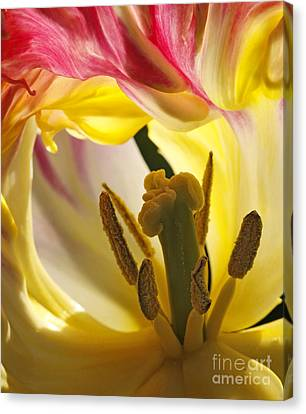 Spring Tulip Canvas Print by Inge Riis McDonald