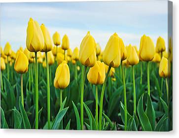 Spring Tulips Canvas Print by Crystal Hoeveler