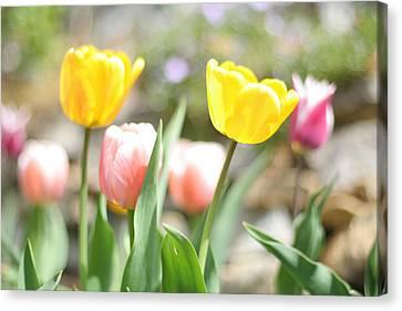 Spring Tulips Canvas Print by Heidi Hermes