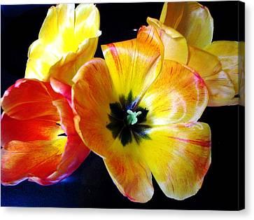 Spring Tulips Xx Canvas Print by Judyann Matthews
