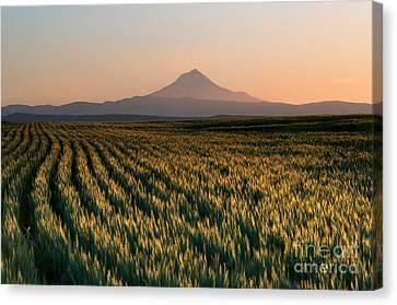 Spring Wheat Canvas Print