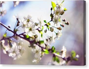Spring White Cherry Tree  Canvas Print by Jenny Rainbow