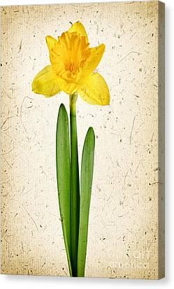 Spring Yellow Daffodil Canvas Print by Elena Elisseeva