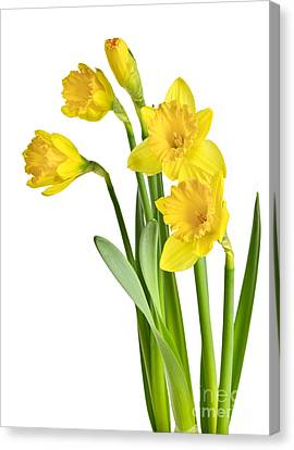 Spring Yellow Daffodils Canvas Print by Elena Elisseeva