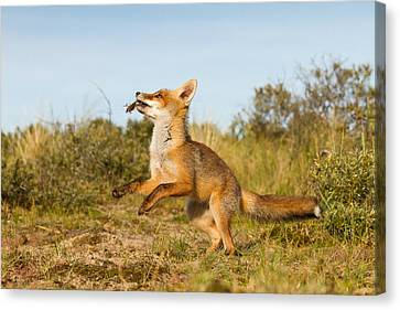 Spring -young Fox Kit Playing With Moss Canvas Print