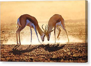 Springbok Dual In Dust Canvas Print by Johan Swanepoel