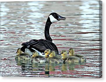 Spring's First Goslings Canvas Print