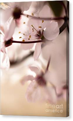 Springtime Blossom Canvas Print by Jan Bickerton
