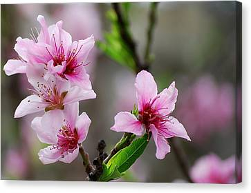 Canvas Print featuring the photograph Springtime In The South by Amee Cave