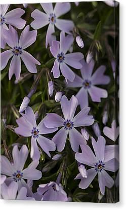Springtime Phlox Canvas Print