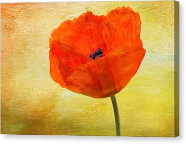 Springtime Poppy Beauty Canvas Print