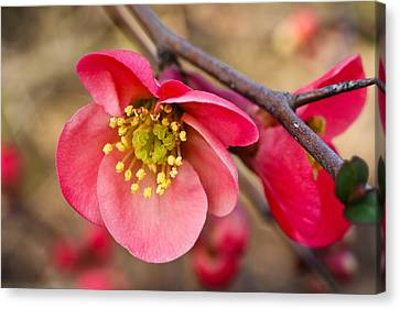Springtime Quince Canvas Print by Julie Andel