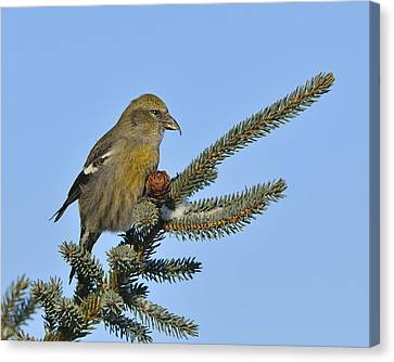Crossbill Canvas Print - Spruce Cone Feeder by Tony Beck