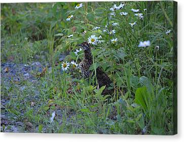 Canvas Print featuring the photograph Spruce Grouse by James Petersen
